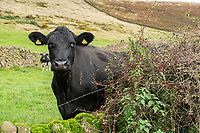 Dairy cows and hedge with berries, Macclesfield, Cheshire.