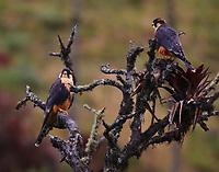 Pair of aplomado falcons