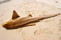 Dead Leopard / zebra shark, Stegostoma fasciatum, on the beach as a product of bycatch and fisherneb coming into the bay to clean their nets. Pulau Perhentian, South China sea, Penninsular Malaysia, Asia