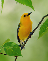 Adult male prothonotary warbler