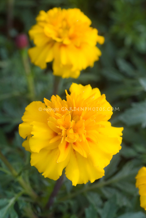 Marigold, yellow French (Tagetes) flowers