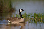 Canada Goose in spring