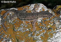 0507-08ww  Flat-tailed House Gecko, Cosymbotus platyurus © David Kuhn/Dwight Kuhn Photography
