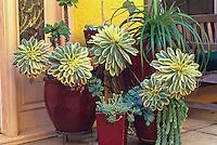 Aeonium 'Sunburst', Sedum burrito succulents in containers.  Patrick Anderson Garden