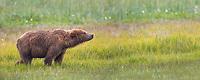 Brown bear in a grassy meadow, Katmai National Park, Alaska Peninsula, southwest Alaska.