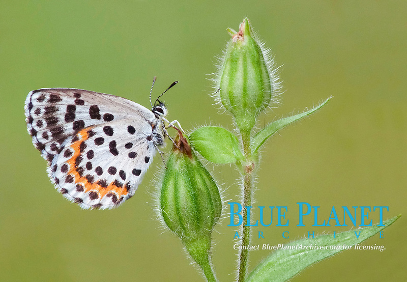 Chequered Blue (Scolitantides orion), adult, resting on Red Campion (Silene dioica) buds in meadow, Cannobina Valley, Piedmont, Northern Italy, Europe