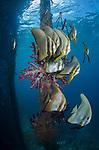A school of longfin spadefish or batfish, Platax teira, with soft corals under the pier at Arborek Island, Dampier Strait, Raja Ampat, West Papua, Indonesia, Paciific Ocean