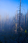 Pine forest burn seen in fog at dawn, Olympic National Park, Washington.  This burn is recovering, with new understory and seedling growth. Olympic Peninsula