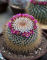 """16/05/16 <br /> <br /> Mammillaria, New Dawn.<br /> <br /> Britain's biggest cactus grower attributes the recent hot weather for his current winning streak at national flower shows, something he hopes to repeat later this month at RHS Chelsea.<br /> <br /> Full story here:  http://www.fstoppress.com/articles/winning-streak-for-blooming-cactus/<br /> <br /> .But a few days ago it was almost too hot for his prickly blooms and he had to pump in cooler air from outside to cool down his giant 22,000 sq ft greenhouse.<br /> <br /> And now, as you enter the greenhouse, you're met with a brilliant display of colour, almost every cactus is in full bloom, a patchwork of bright yellow and orange, subtle pinks and deep red flowers.<br /> <br /> """"There's probably about one hundred thousand plants in here, and most of them are already showing flowers,"""" said owner Bryan Goody, who runs the nursery with his wife Linda and daughter Eleanor.<br /> <br /> <br /> All Rights Reserved: F Stop Press Ltd. +44(0)1335 418365   +44 (0)7765 242650 www.fstoppress.com"""