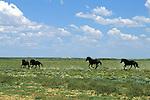 Wild horses running across the Red Desert in Wyoming.