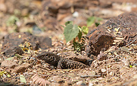 Sonoran Tiger Whiptail, Aspidoscelis tigris punctilinealis, emerges from a burrow in the Desert Botanical Garden, Phoenix, Arizona