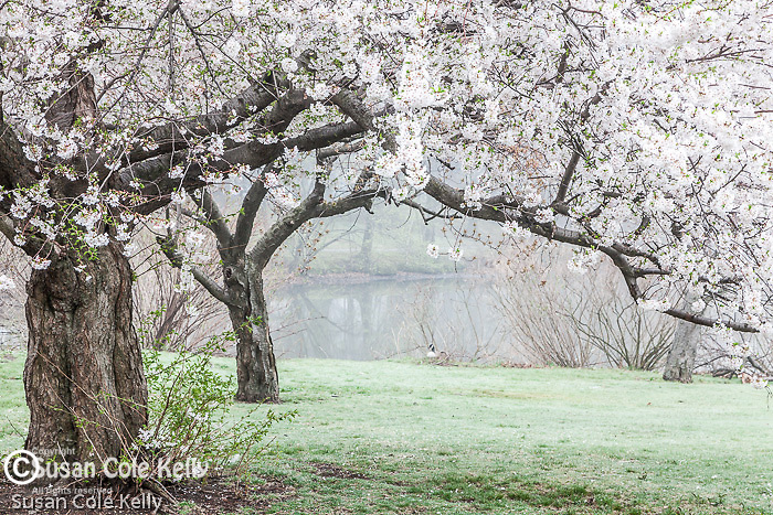 Cherry trees at the Fens, part of Frederick Law Olmsted's lovely Emerald Necklace in Boston, MA, USA