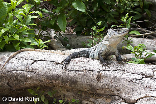 0626-1104  Black Spiny-tailed Iguana (Black Iguana, Black Ctenosaur), On Half-moon Caye in Belize, Ctenosaura similis  © David Kuhn/Dwight Kuhn Photography