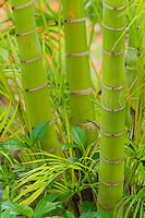 A close-up of a a bamboo trio on Maui.