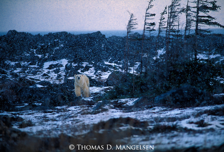 A polar bear pauses in a storm, as wind blows across the landscape in Canada.