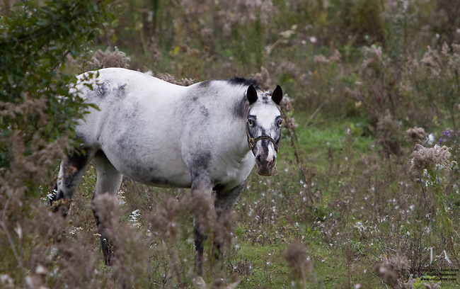 Horse in Vermont with a very expectant stare.  Perhaps it is an Appaloosa. Gorgeous