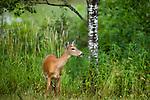 Alert white-tailed doe in summer