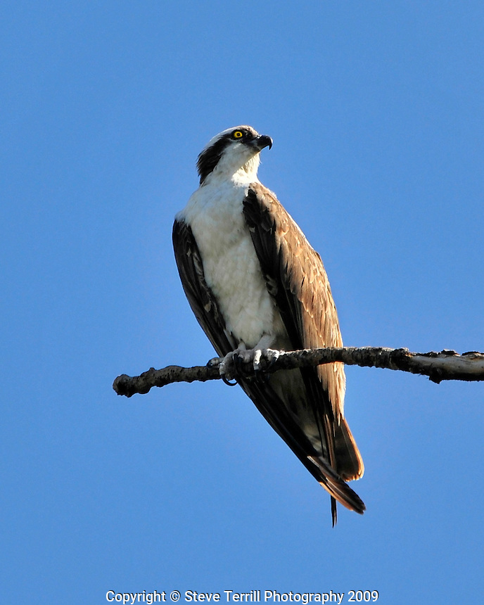 Osprey resting on branch along Columbia River Oregon