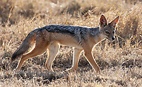 I still remember how surprised I was that the black-backed jackal is so small.