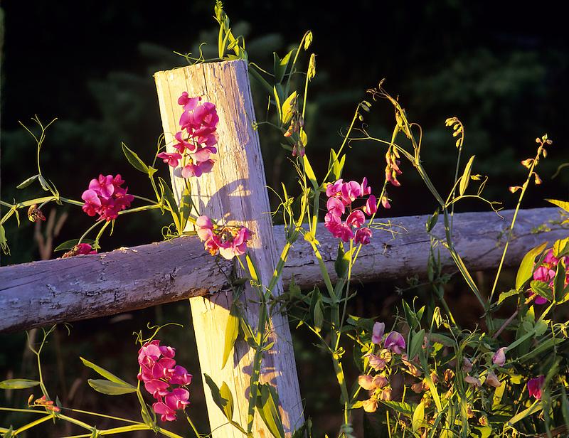 Sweetpeas on old fence. Near Alpine, Oregon.