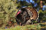 Merriam's Turkey Tom in Full Strut