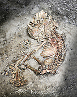 Infant burial. the infant was buried in a foetal position and has stone wrist bands. The brown area on the left side of the skeleton is the remains of the wicker basket the child was buried in. Excavevated in 1999 from Building 6, space 163, level VIII. Unit 4406X.1 . Catalhoyuk collection, Konya Archaeological Museum, Turkey
