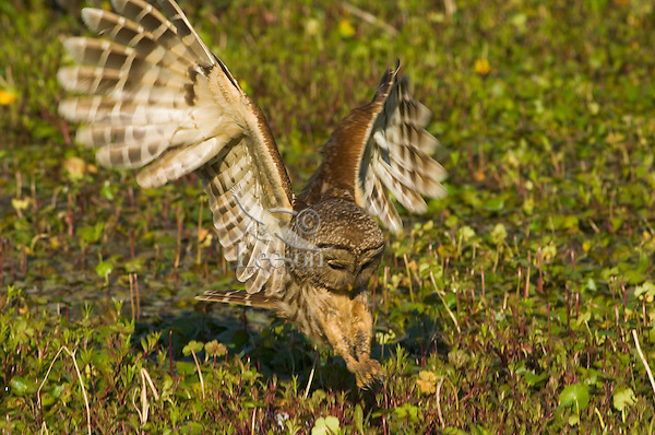 Barred Owl (Strix varia) hunting for crayfish in southern swamp.  LA