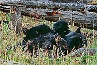 Black bear sow plays with young cub.  Western U.S.,  spring.