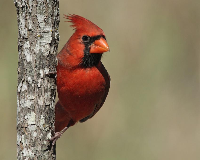 The Northern Cardinal or Redbird is a North American bird in the genus Cardinalis.