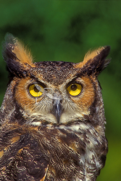 Great Horned Owl. (Bubo virginianus).  North America.