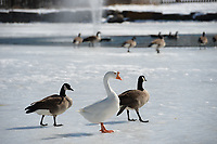 Geese stand Saturday, Feb. 20, 2021, on an ice-covered pond at Fairview Memorial Gardens in Fayetteville. The geese at the pond makes the gardens a popular spot to visit. Visit nwaonline.com/210221Daily/ for today's photo gallery. <br /> (NWA Democrat-Gazette/Andy Shupe)