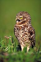 Burrowing Owl. Cape Coral Florida.