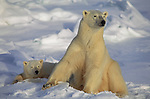 An adult Polar Bear and a young bear lay in the snow resting as the last light of day slips away.