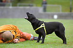 Search dog locates a victim in the Urban Search and Rescue demonstration in Swansea today. The USAR is managed by the Chief Fire Officers Association (CFOA) on behalf of the UK Government.