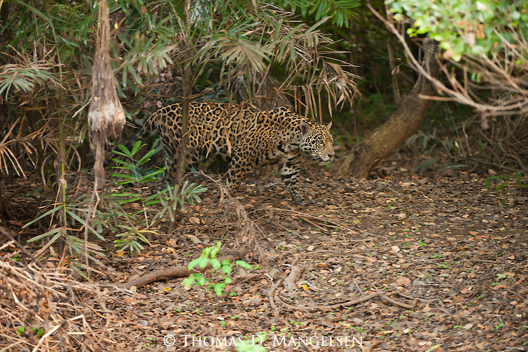 A jaguar stalks at the edge of the forest in the Pantanal, Mato Grosso, Brazil.