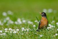 American Robin (turdus migratorius).  Pacific Northwest.  Spring.
