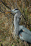 Greater Blue Heron