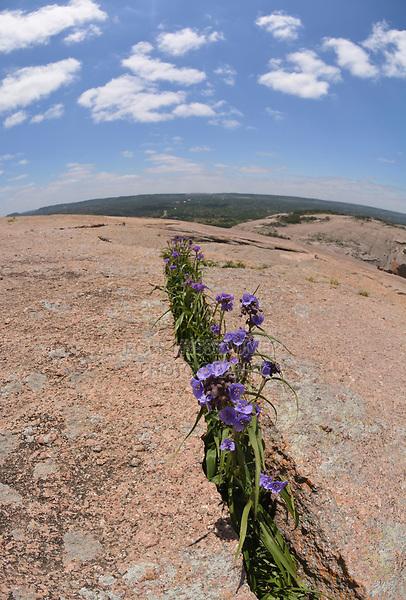 Giant Spiderwort, (Tradescantia gigantea), Enchanted Rock State Natural Area, Hill Country, Central Texas, USA
