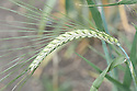 Hordeum vulgare 'Pearl', early July. A form of barley.