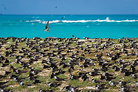 sooty terns, Onychoprion fuscata or Sterna fuscata, nest in a crowded rookery, blanketing Tern Island, French Frigate Shoals, Papahanaumokuakea Marine National Monument, Northwestern Hawaiian Islands, USA, Pacific Ocean