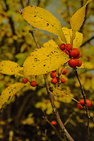 Red Berries and Yellow Leaves