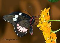LE45-543z  Transandean Cattleheart  Swallowtail, female, Parides iphidamas, Central America