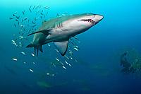 sand tiger shark, grey nurse shark, spotted ragged-tooth shark, Carcharias taurus, South West Rocks, Australia, Pacific Ocean