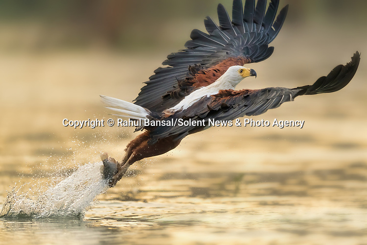 "SPREAD WINGS  An eagle dramatically spreads its wings after catching a fish with its talons from the waters surface in Lake Naivasha, Kenya. <br /> <br /> The incredible moment was shot by operations manager Rahul Bansal. <br /> <br /> Describing the eagle catching it's prey, Mr Bansal said ""The eagle extends it's feet outwards and plucks the fish out with so much strength, and all this while its wings move in perfect harmony with its body.""<br /> <br /> ""It's truly a miracle to witness.""<br /> <br /> Please byline: Rahul Bansal/Solent News<br /> <br /> © Rahul Bansal/Solent News & Photo Agency<br /> UK +44 (0) 2380 458800"