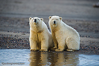 two young polar bear cubs huttle on the shore of the Beaufort,Sea while waiting for the water to freeze. Alaska Polar Bear Photography Prints