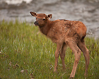 This elk (Cervus canadensis) calf is probably a day or two old.  Mom has wandered off to feed and he/she must fend for itself until she returns. This calf will lose its spots by the end of summer. After two weeks, calves are able to join the herd, and should be fully weaned at two months of age. Gibbon Canyon, Yellowstone.
