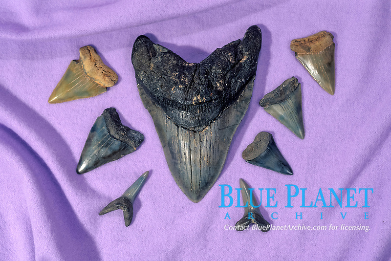 fossil tooth of megalodon, Carcharocles megalodon, an extinct species of shark, and teeth of great white shark, Carcharocles carcharias