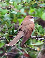 Black-billed cuckoo adult