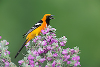 Hooded Oriole (Icterus cucullatus), male eating fly on Texas Sage (Leucophyllum frutescens), Laredo, Webb County, South Texas, USA