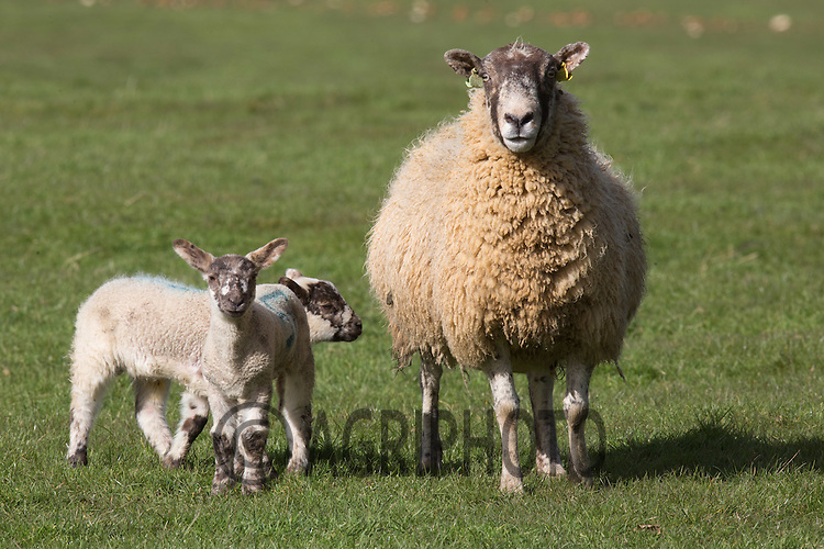 Ewes and lambs out on grass <br /> Picture Tim Scrivener 07850 303986 tim@agriphoto.com<br /> ….covering agriculture in the UK….